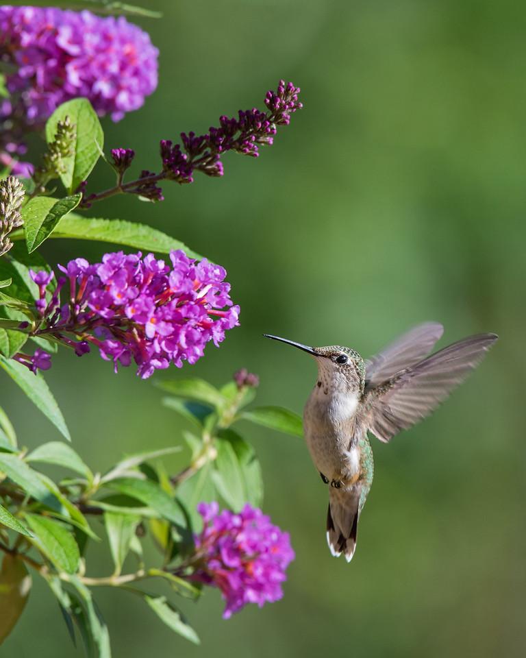 Hummingbird at Fuschia Butterfly Bush 1
