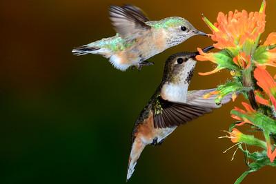 Female Calliope and Female Rufus Hummingbird