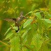 Ruby Throated Hummingbird Enjoying Some Jewelweed