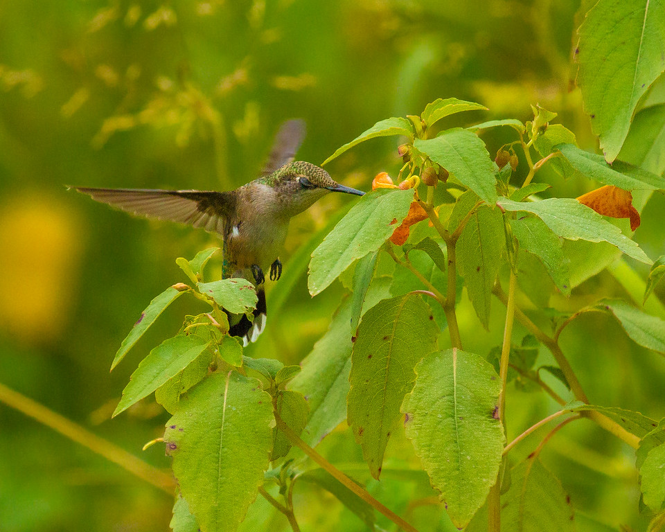 Ruby Throated Hummingbird Enjoying Some Jewelweed