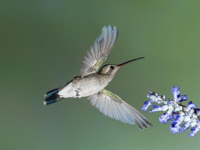 Broad-billed Hummingbird, Female