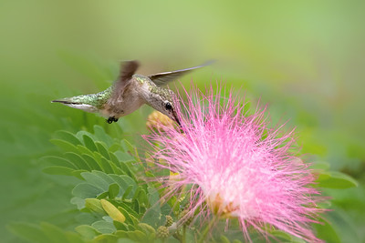 Ruby Throated Hummingbird feeding on pink powderpuff flower