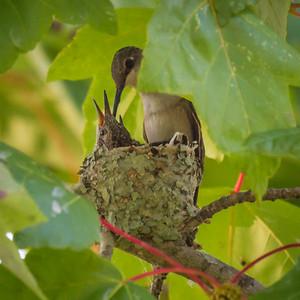 Female Ruby-throated Hummingbird Feeding Juvenile in the Nest