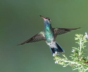 Broad-billed Hummingbird, Male