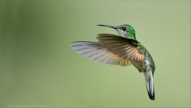 Female Stripe-tailed Hummingbird