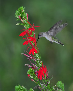 Hummingbird @ Cardinal Flower 0321