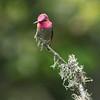 Anna's humminhbird