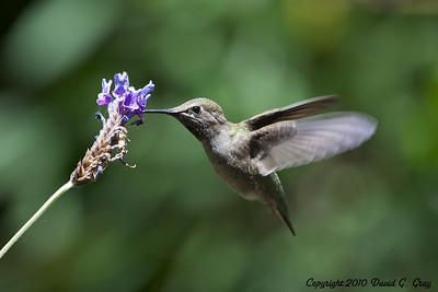 anna's hummingbird dining1