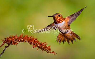 Rufous Humminbird