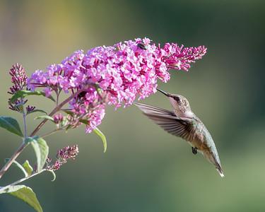 Hummingbird at Pink Butterfly Bush 1