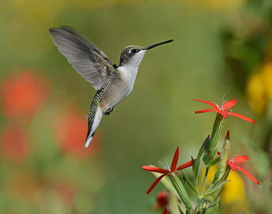 Hummingbird @ Royal Catchfly - 5431