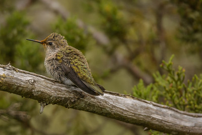 Anna's Hummingbird fledgling, Point Reyes National Seashore.