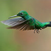 Green-crowned Brilliant in Flight