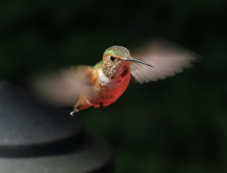 Rufous or Allen's in flight