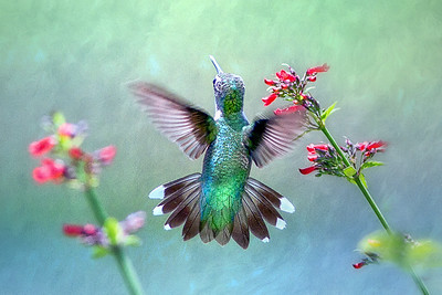(HU19) Ruby Throated Hummingbird on Russelia Sarmentosa