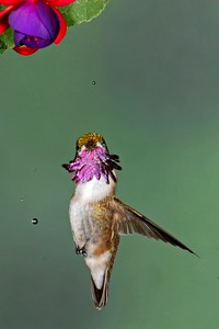 Male Calliope with nectar droplets