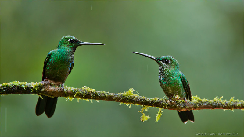 """Green-crowned Brilliants Male and Female<br /> RJB Ecuador Tours<br /> <br />  <a href=""""http://www.raymondbarlow.com"""">http://www.raymondbarlow.com</a><br /> 1/160s f/6.3 at 400.0mm iso2000"""