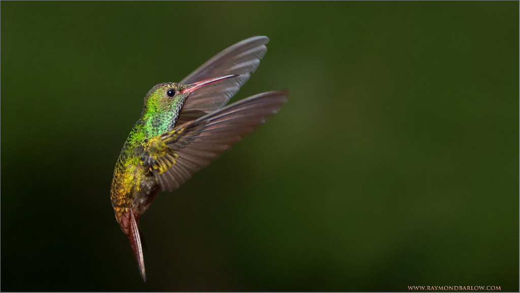 Rufous-tailed Hummingbird in Flight