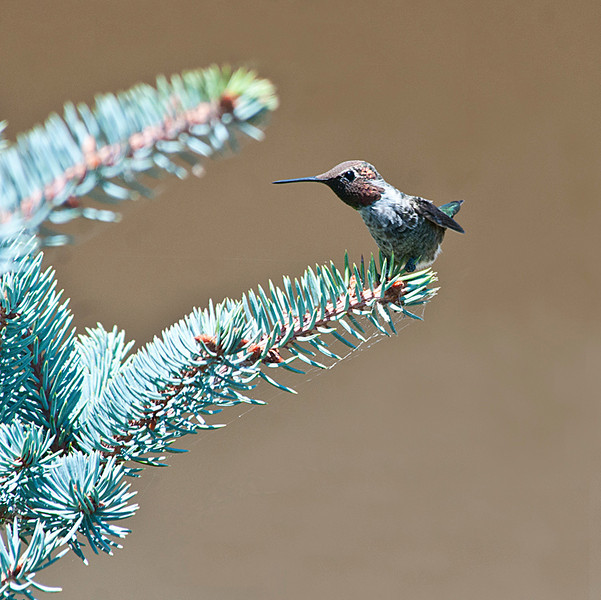 Hummingbirds at Hacienda.<br /> 8-21-12