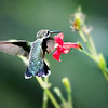 RubyThroated Hummingbird feeding on Red Petunia