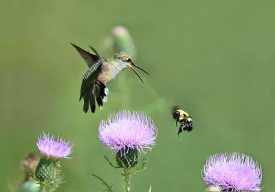 Hummingbird 7440