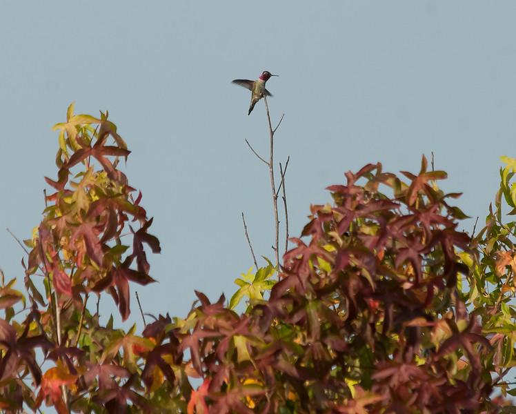 Anna's humingbird