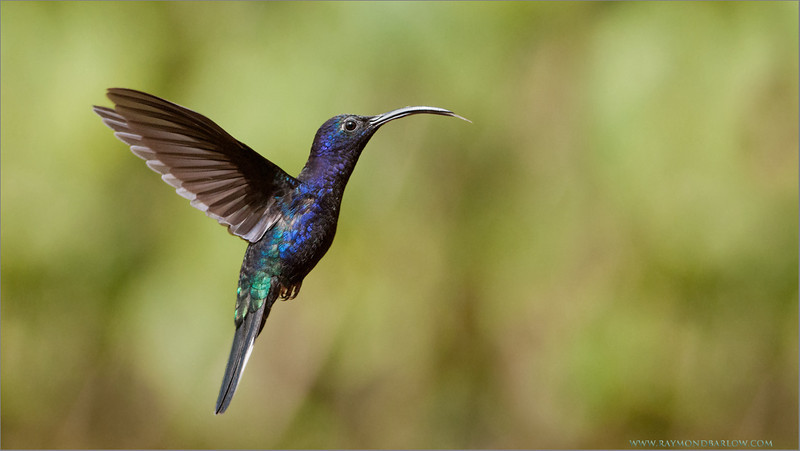 Violet Sabrewing in Flight