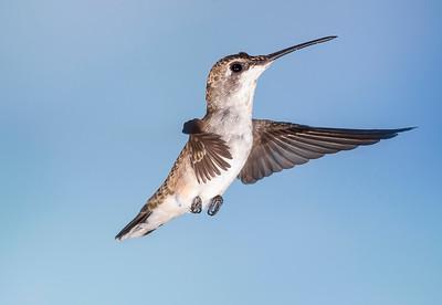 Black-chinned Hummingbird, female