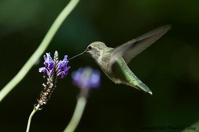 anna's hummingbird dining2
