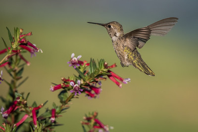 Annas Hummingbird, Lake San Marcos, California.