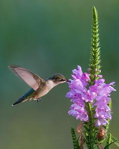 Hummingbird at Obedient Plant 1