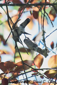 anna's hummingbird attack