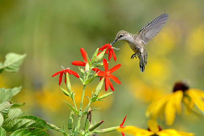 Hummingbird @ Royal Catchfly 4814