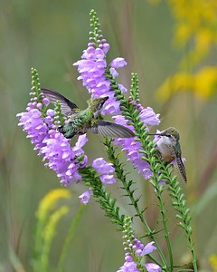 Hummingbird @ False Dragonhead 6803