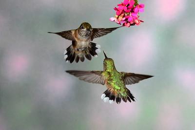 It's mine, all mine!  Female Rufus hummingbirds.