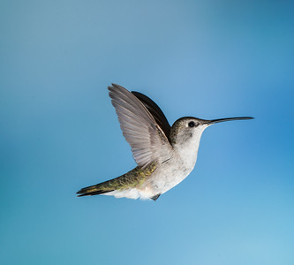 Costa's Hummingbird, Female