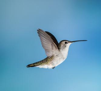 Costa's Hummingbird, Female
