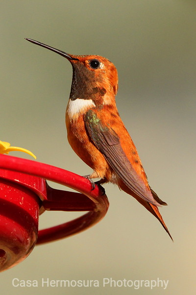 Male Rufous Hummingbird Striking a Pose