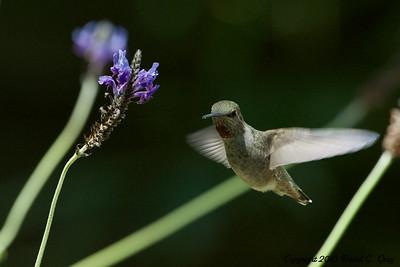 hummingbird hanging out