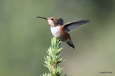 Female Rufous