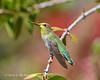 HUMMINGBIRD 4-17-15-Vivid-(2)