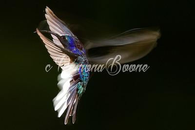 Violet Saberwing Costa Rica