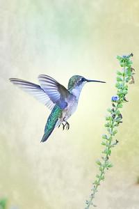 Ruby Throated  Hummingbird feeding on Blue Salvia