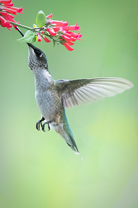 Ruby Throated Hummingbird in my garden