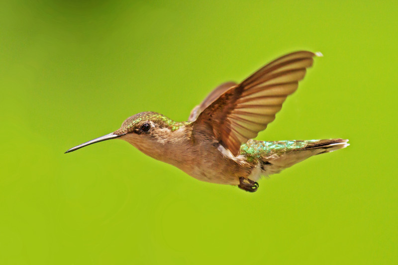 Ruby Throated Hummingbird Female in Flight