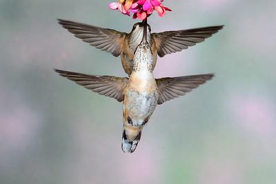 Female Calliope Hummingbirds