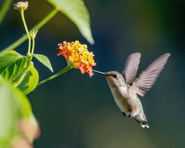 Hummingbird at Lantana 1
