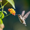 Hummingbird at Lantana 1