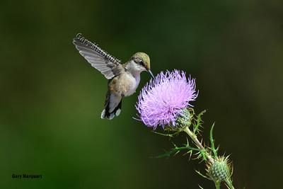 Hummingbird 7345