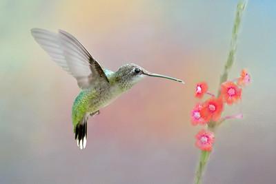 Ruby ThroatedHummingbird on Pink Porterweed Flower